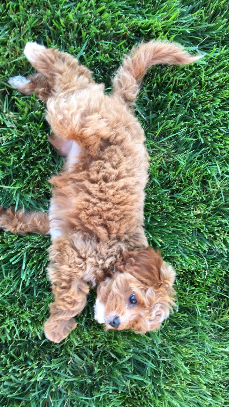 Kyrapg ☾ Ig Kyrapg Cavapoo puppies, Puppies and kitties