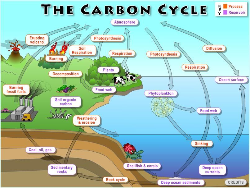 The global carbon cycle biology pinterest cycling the global carbon cycle ccuart Choice Image