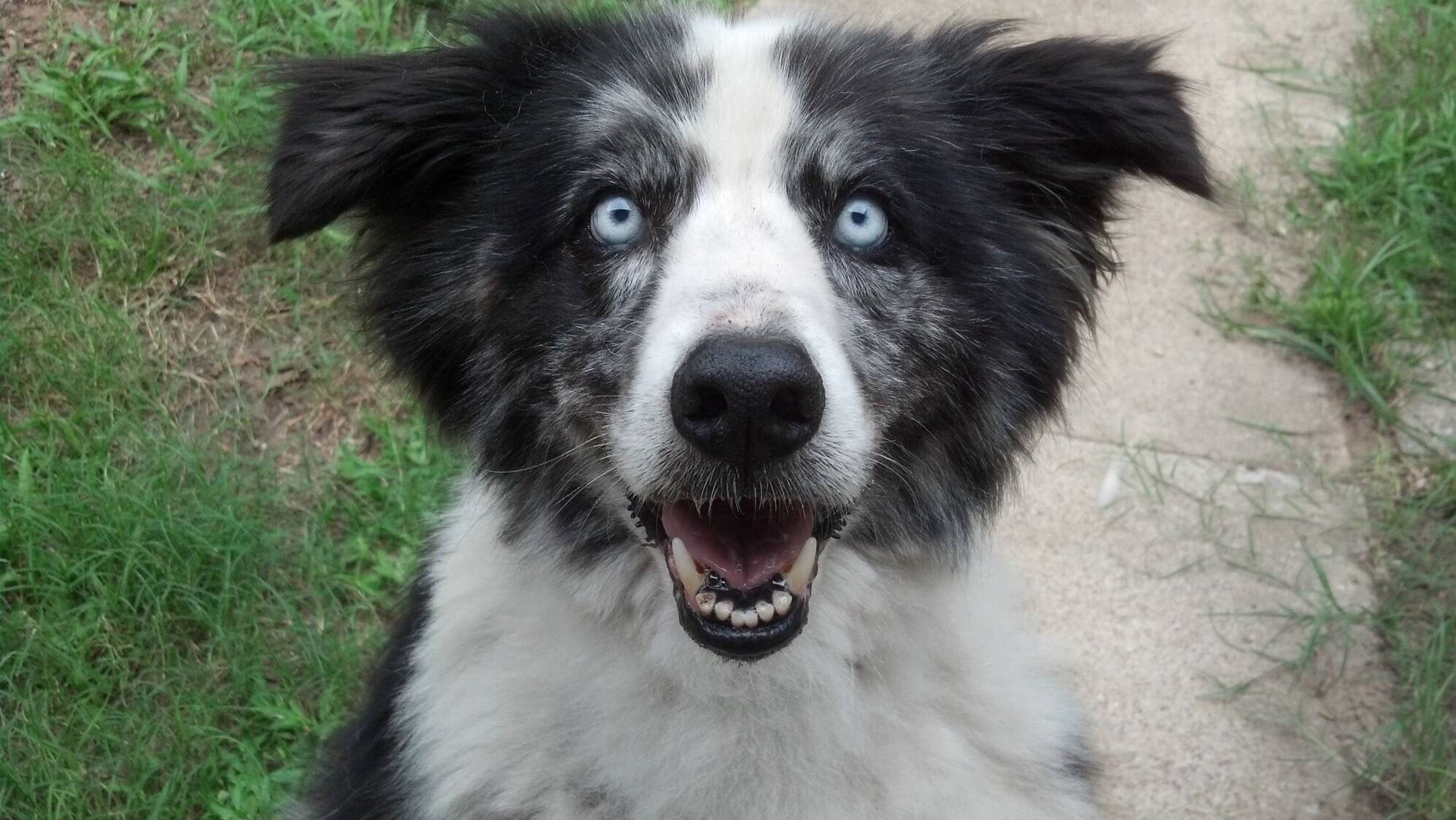 15yr Old Border Collie Aussie Shepherd Mix This Is The Face He