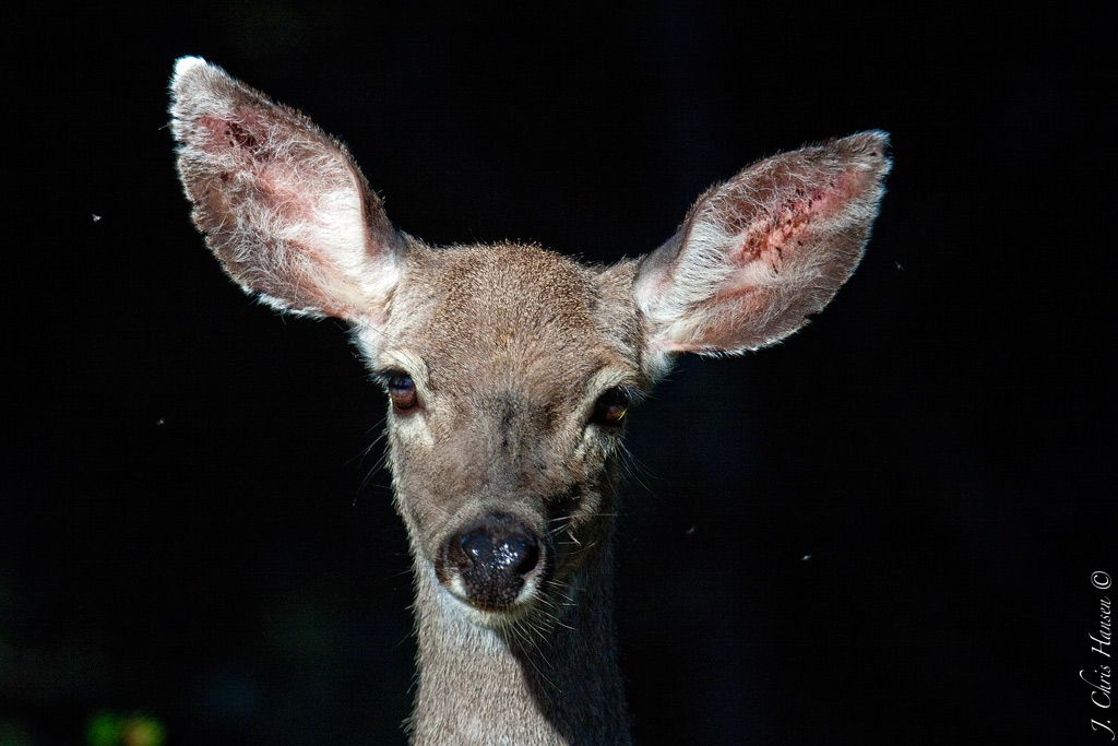 Im ready for my close up now blacktail doe mendocino