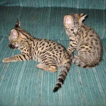 savannah cats for sale F1 Savannah kittens Available For