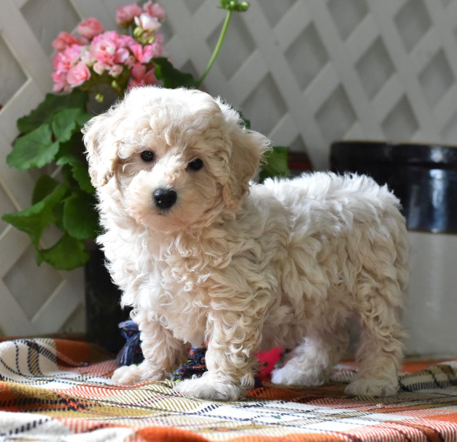 Bichpoo Puppies For Sale Bichon Dog Puppies Lancaster Puppies