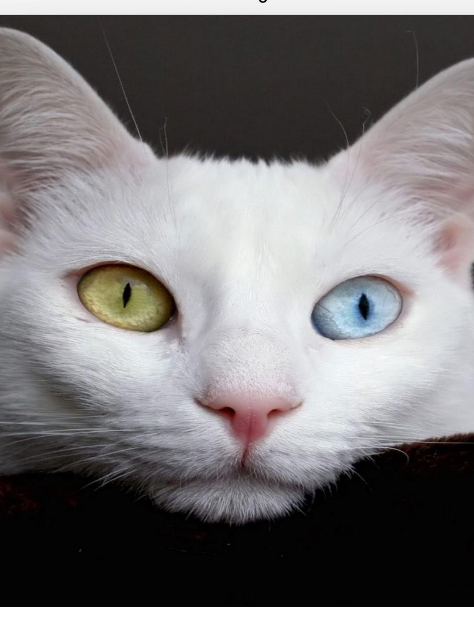 Wow! That cat has beautiful eyes!( Angora cats, Turkish