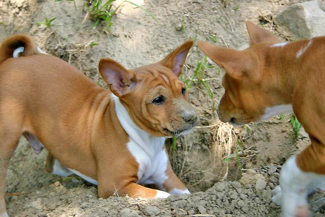 The breed most like a cat, the Basenji is energetic, caring and shy when it comes to people he doesn't know.