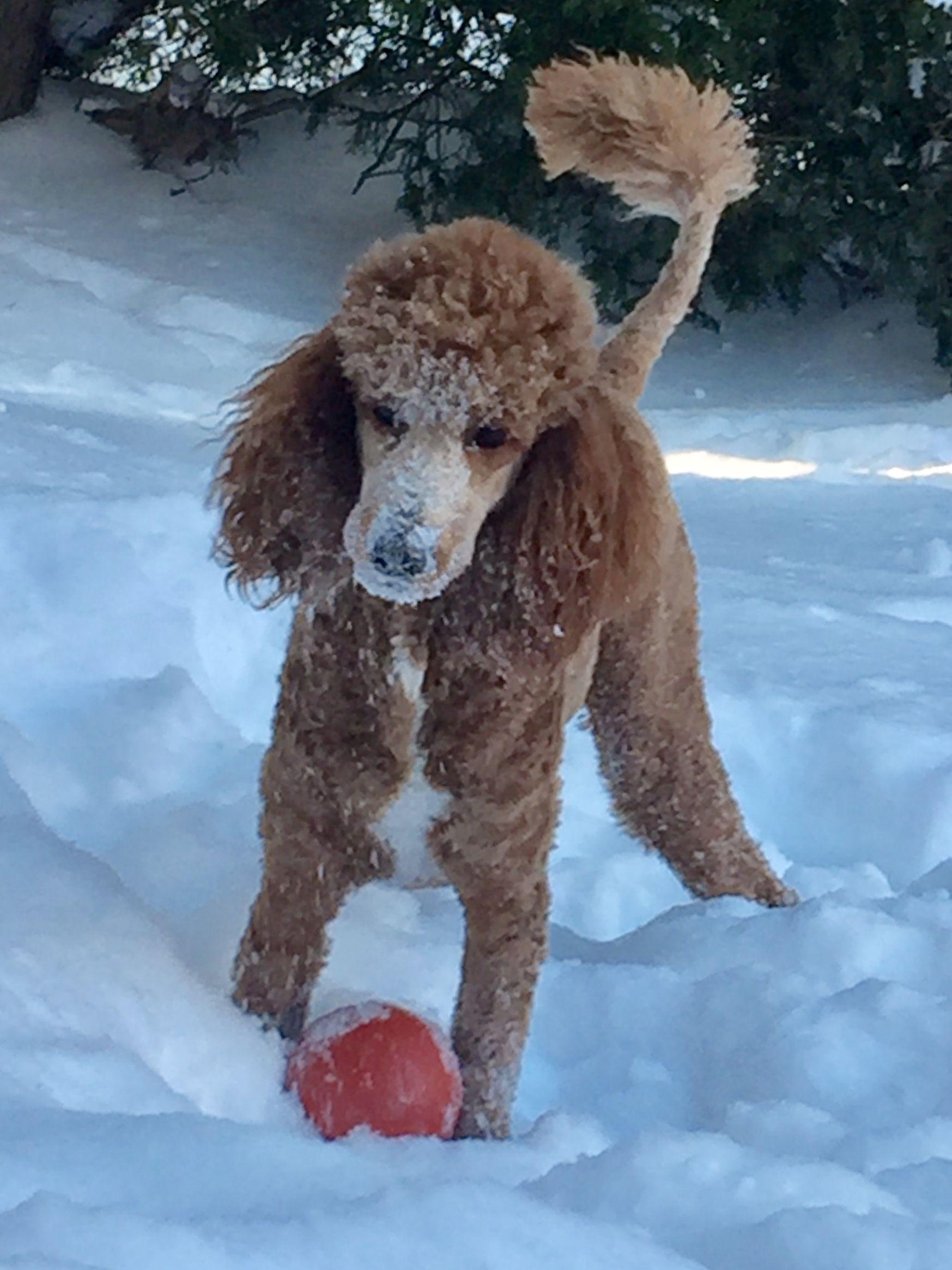Standard Poodle Storm Loves Snow Poodle Dogs Puppies Pup