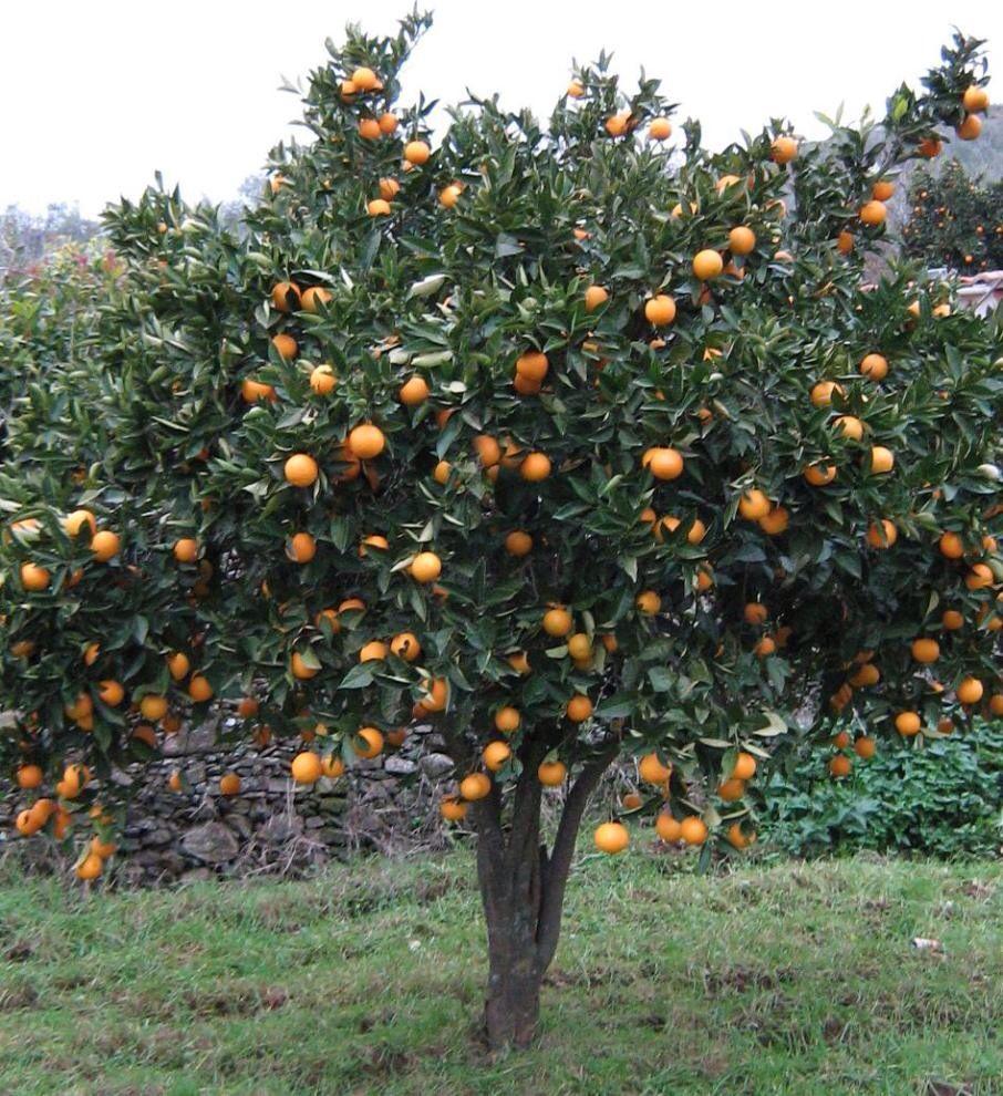 Naranjo rbol de naranjas frutales pinterest for Arboles de jardin de crecimiento rapido