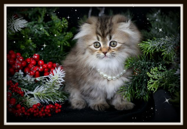 Medley A Golden Teacup Persian Rug Hugger Kitten Is Looking For Her New Forever Home Persian Kittens Persian Kittens For Sale Persian Cat Breeders