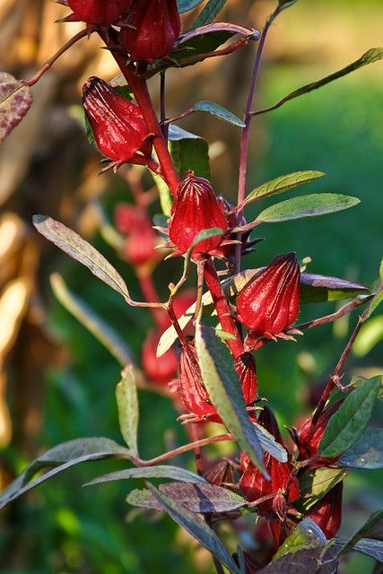 Jamaican Sorrel - Sis look what I found! Just what we ...