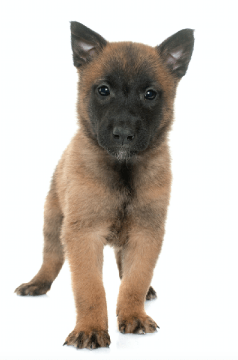 Belgian Malinois Breeders Portland Oregon Belgian Malinois Puppies Malinois Puppies For Sale Belgian Malinois