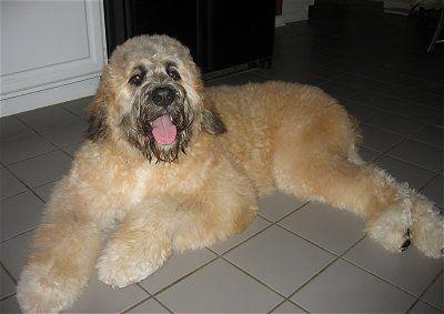 Saint Berdoodle Designer Dog Saint Bernard X Poodle Not