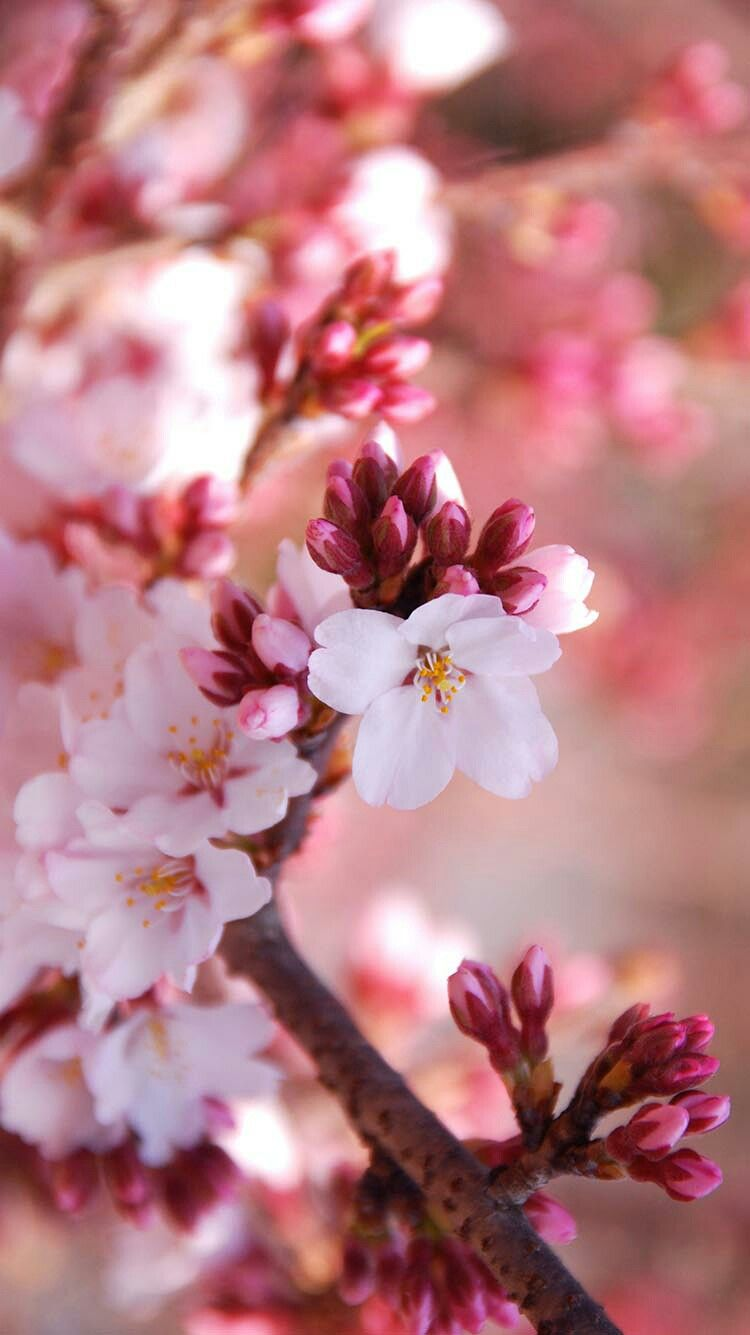 Pin by Laura Kocnik on Wallpapers | Cherry blossom flowers ...