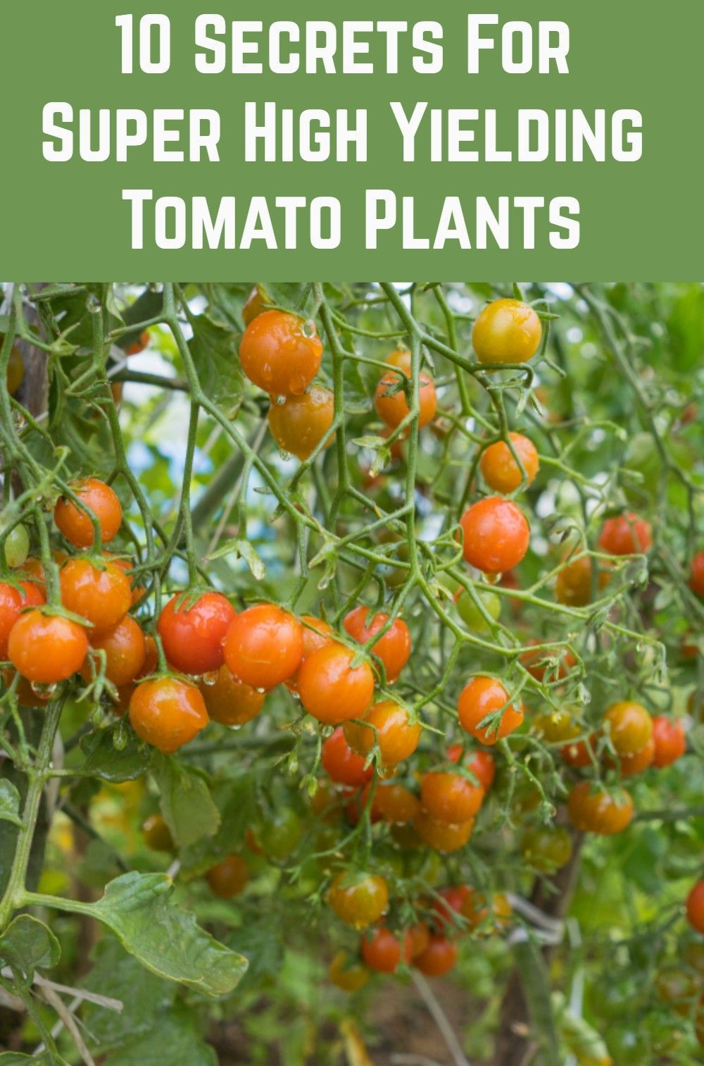 10 Pro Tips For Growing Tasty & Abundant Tomatoes is part of Tomato container gardening, Tomato garden, Tomato plants, Easy plants to grow, Veg garden, Tomato - Most people can grow tomatoes, but not everyone can produce a bountiful supply of delicious and sweet tomatoes  Follow these pro tips and you will be able to