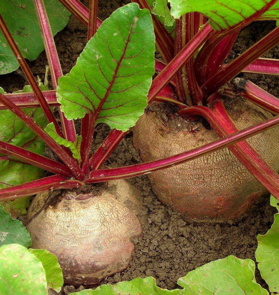 Winterkeeper Lutz Beet Seeds Winter Vegetables Gardening Beet Seeds Organic Vegetable Garden