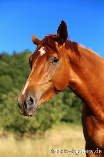 Pferd Pferdekopf Pferde