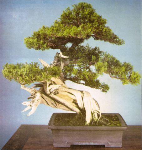 Phoenix Bonsai Society Bonsai Juniper Bonsai Bonsai Tree