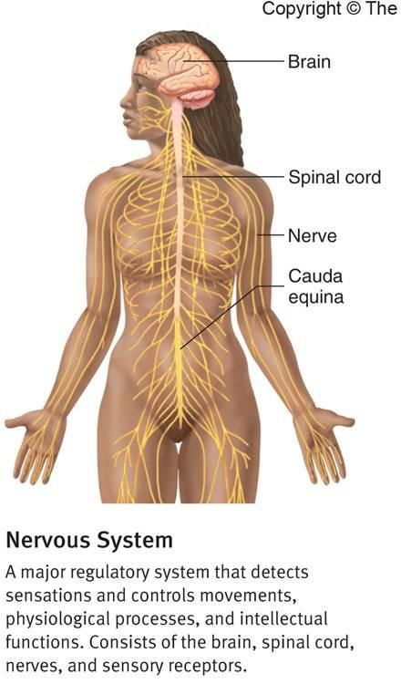 Nerves System Graphics And Pictures Major Regulatory