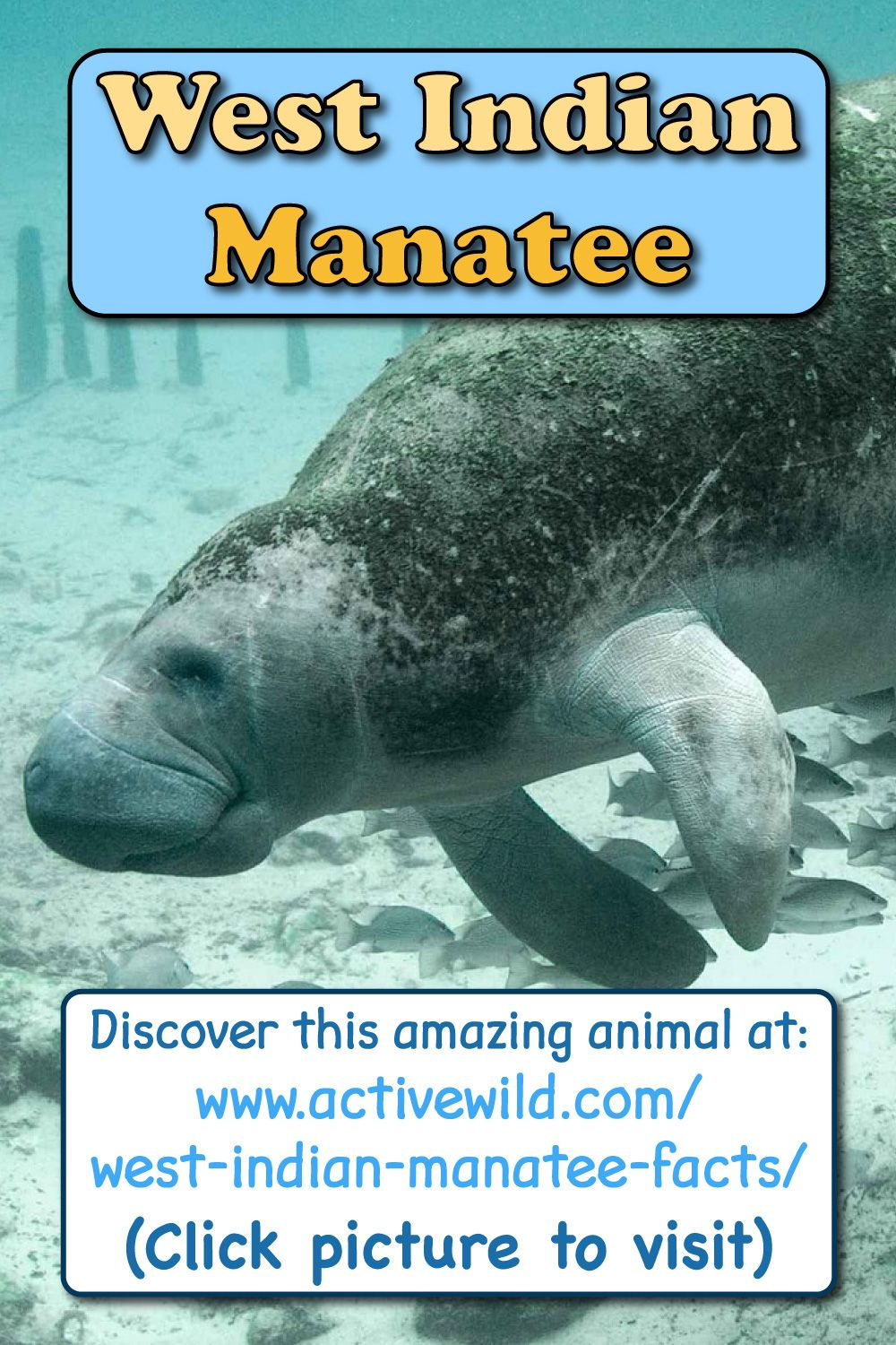 West Indian Manatee Facts, Pictures & Video. InDepth