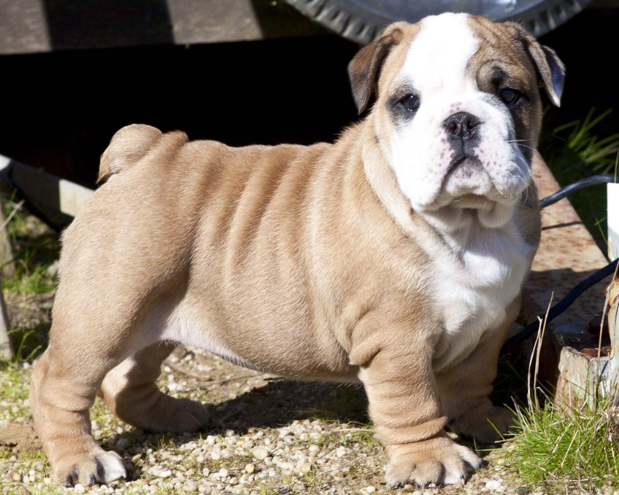 Maybe baby British bulldog, Lovers, French bulldog