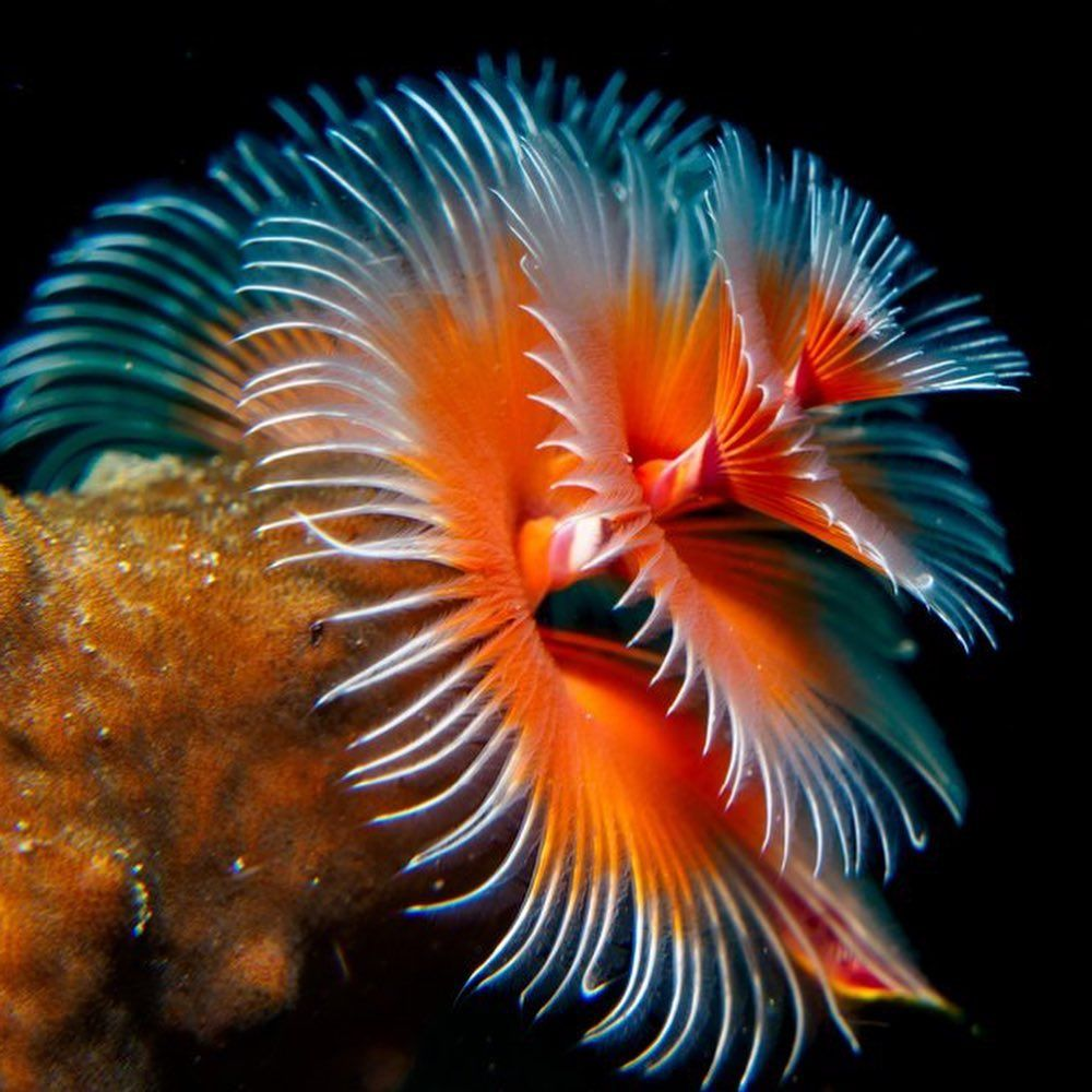 Oceana On Instagram Christmas Tree Worms Are Burrowing Worms That Live Inside Corals Their Tree Branches Are Actual Underwater Plants Oceana Tree Branches