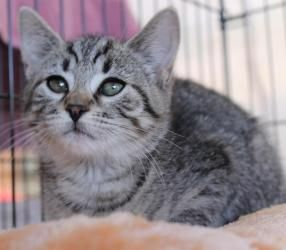 Adopt Katy Moorestown Petsmart On Pet Adoption Center Animal Rescue Tabby Cat