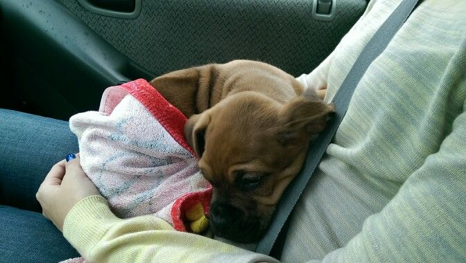 Taking home my new boxer/ridgeback puppy, 8 weeks old......say hello to Mr. Captain Axel  :)
