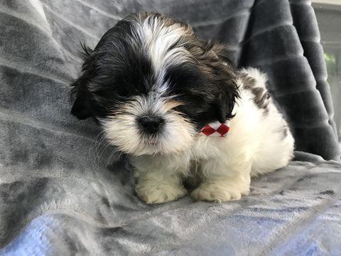 Shih Tzu Puppy For Sale In Peach Bottom Pa Adn 49117 On