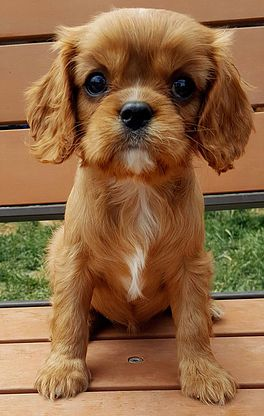 Ruby Cavalier King Charles Spaniel Puppies For Sale King Charles Cavalier Spaniel Puppy King Charles Puppy Cavalier King Charles Dog