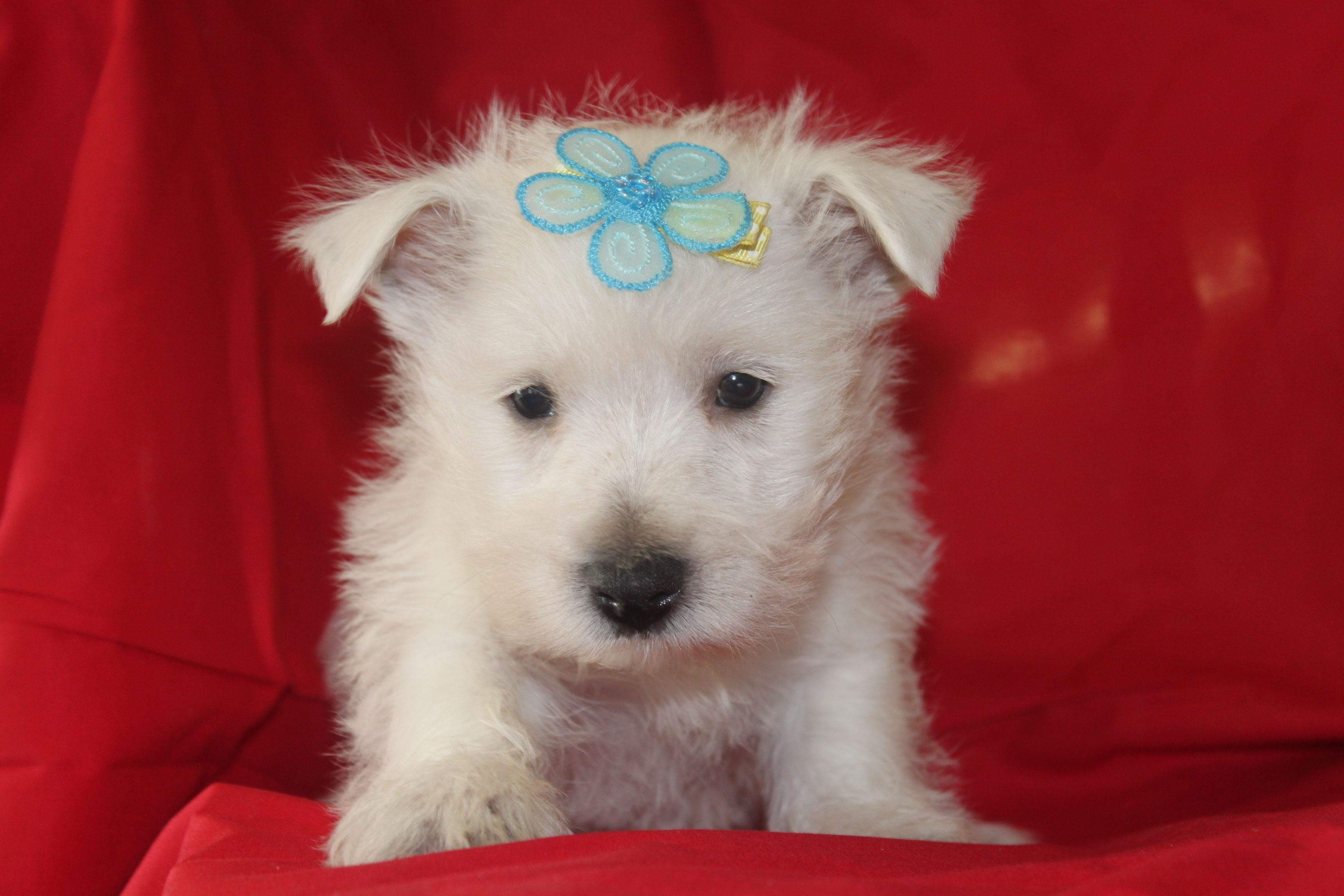 Westie Puppy This Is A 7 Week Old Westie Puppy Posted At Http