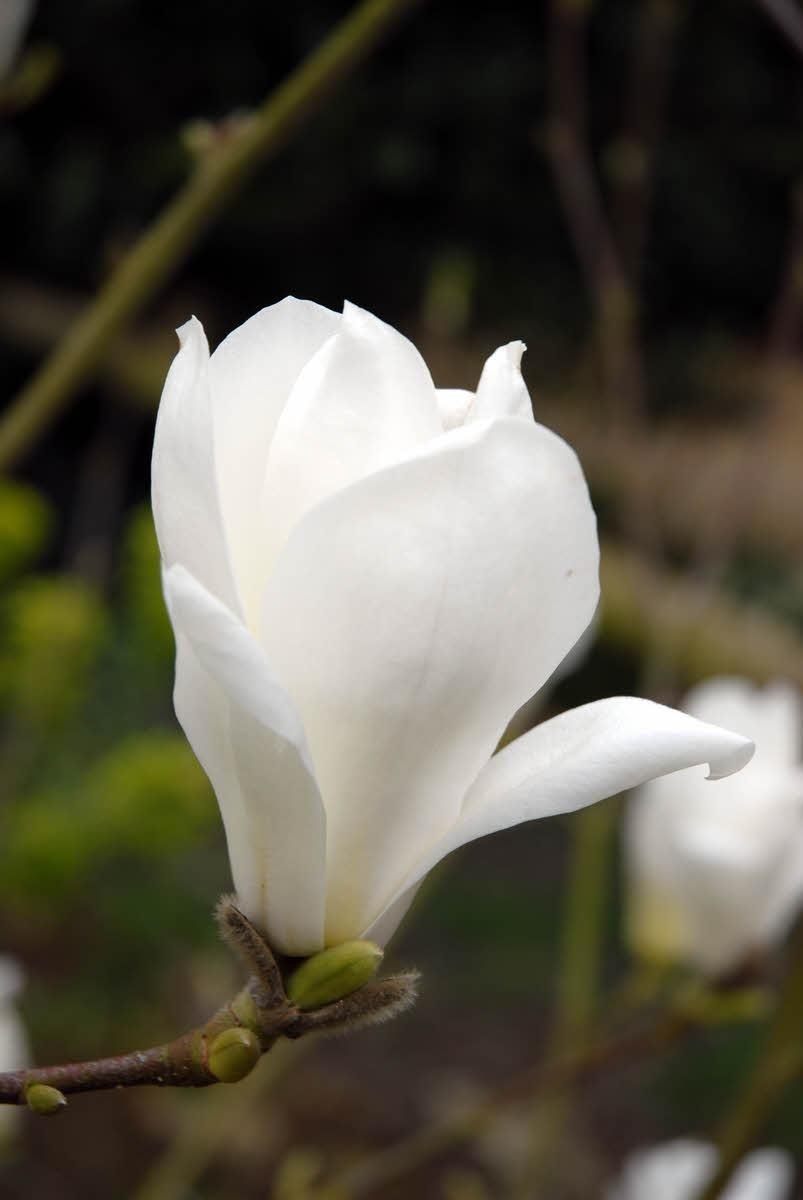 Magnolia denudata yulan lily tree origine cina its
