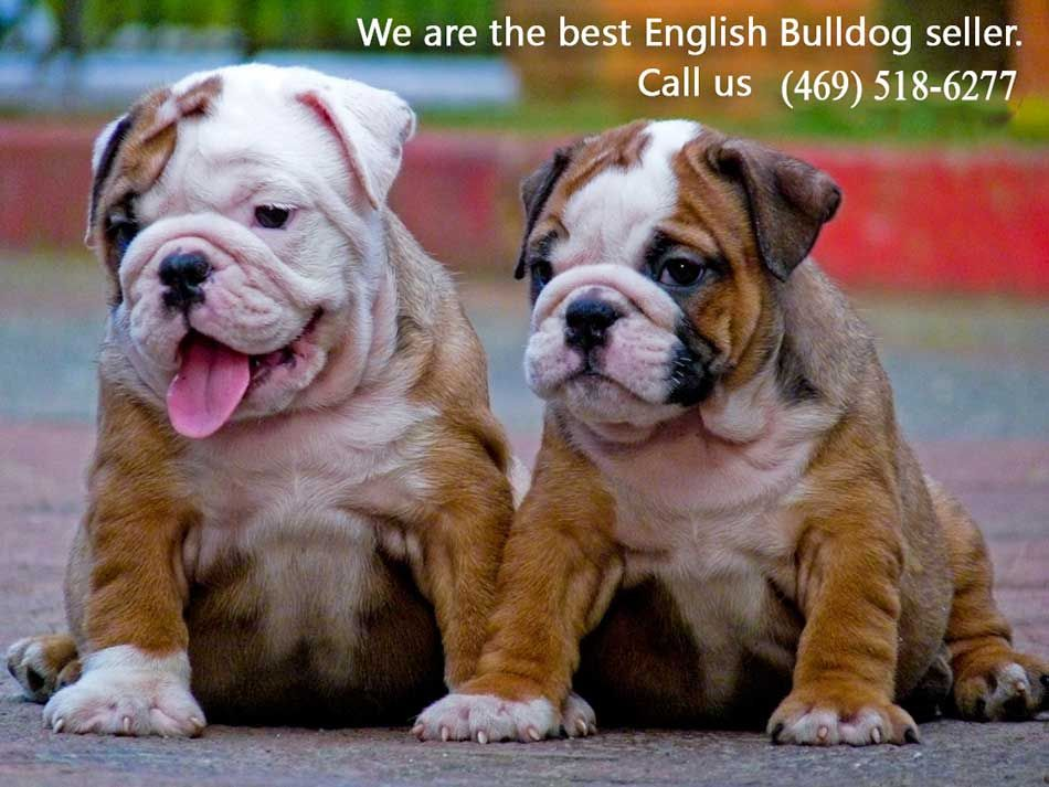 English Bulldog Puppies For Sale Bullies Bulldog Puppies