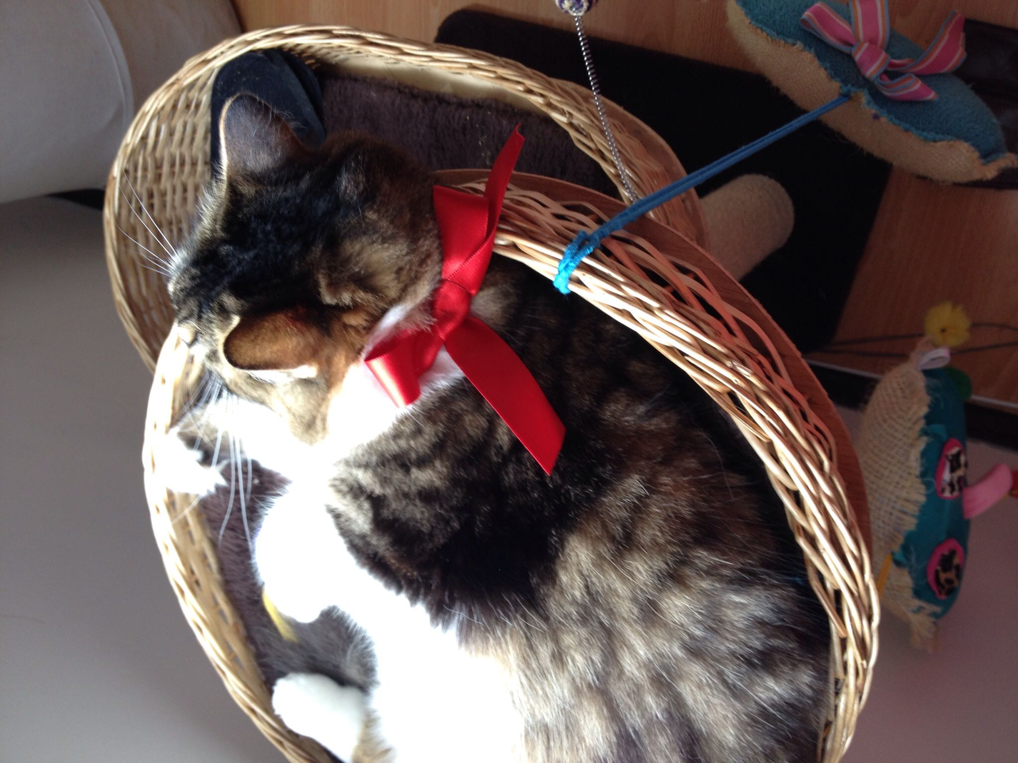 Bianka con su nuevo collar un moño muy aristogata