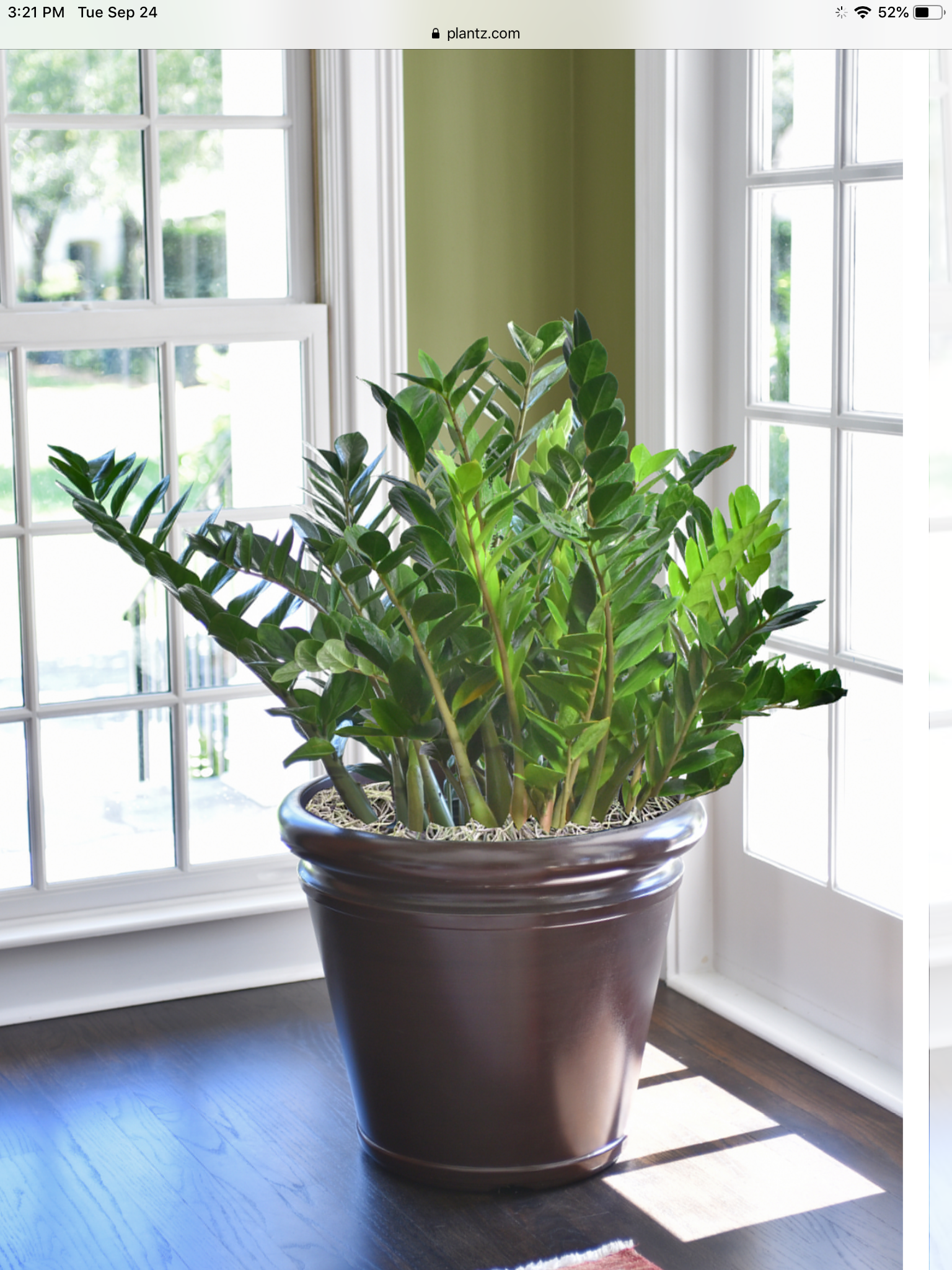 ZZ Plant for sale Order Online Full Size Plants Delivered