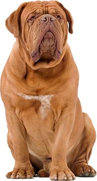 Dogue de Bordeaux Dog Information