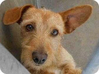 Orange Ca Cairn Terrier Dachshund Mix Meet Weldon A Dog For