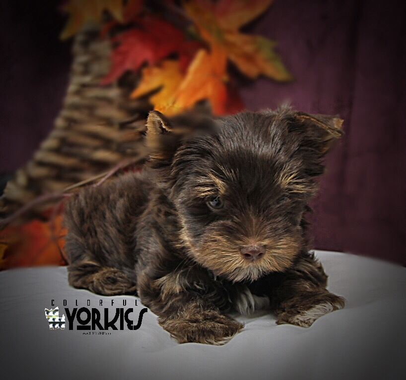 Kaige A Very Dark Chocolate Yorkie Www Colorfulyorkies Com Yorkie Dog Halloween Outfits Yorkie Puppy