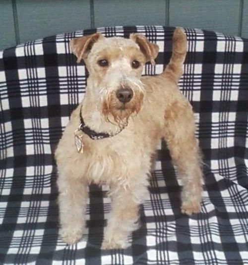 Adopt Madison On Terrier Dogs Lakeland Terrier Madison