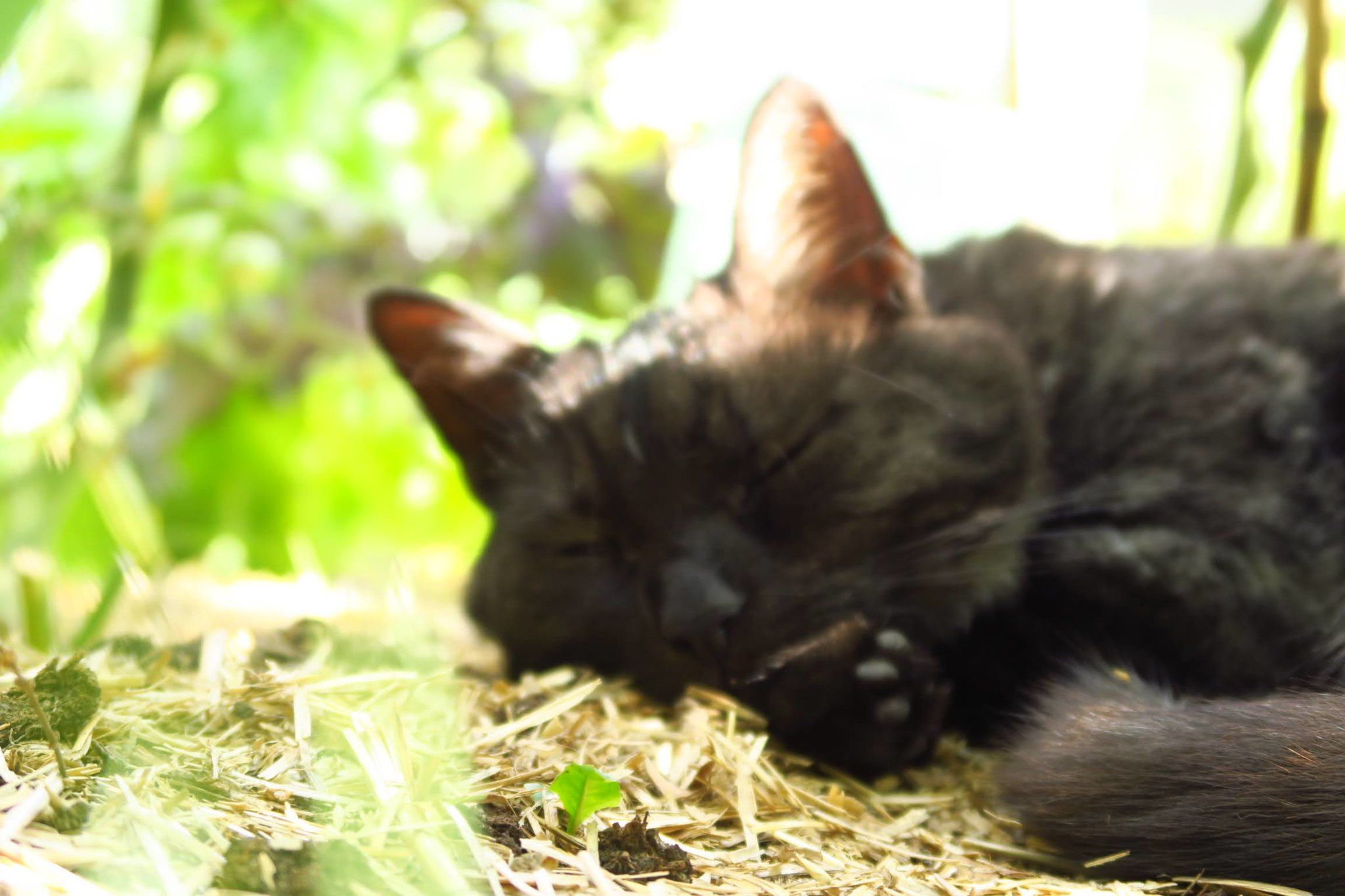 #chat #chatnoir #blackcat #dodo #sleepingcat #cute #cosy #outside #nature #garden #plant #gardenlover #catlover