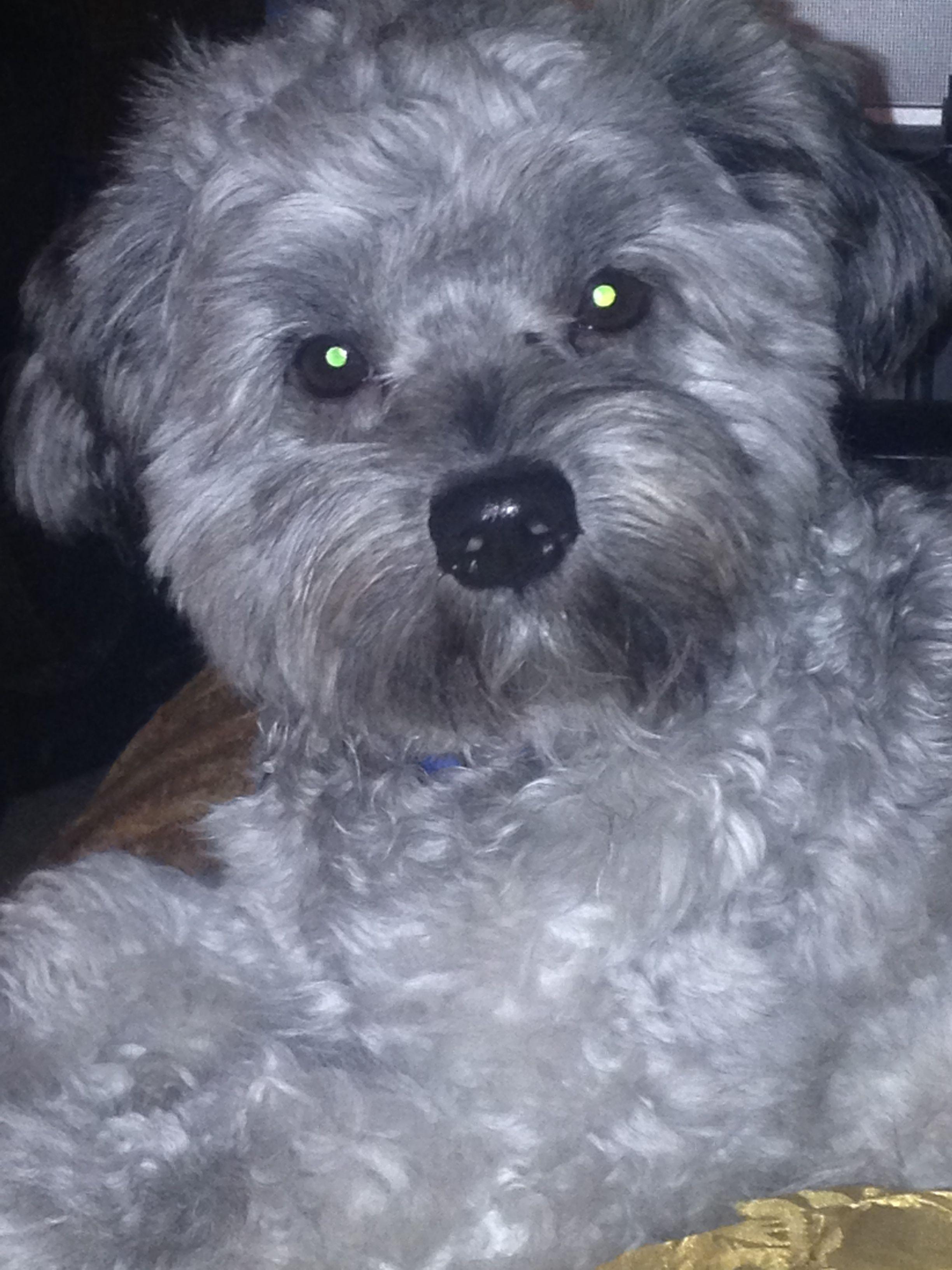 Maltipoo Gray Grey Silver With Images Maltipoo Grey Dog Puppies
