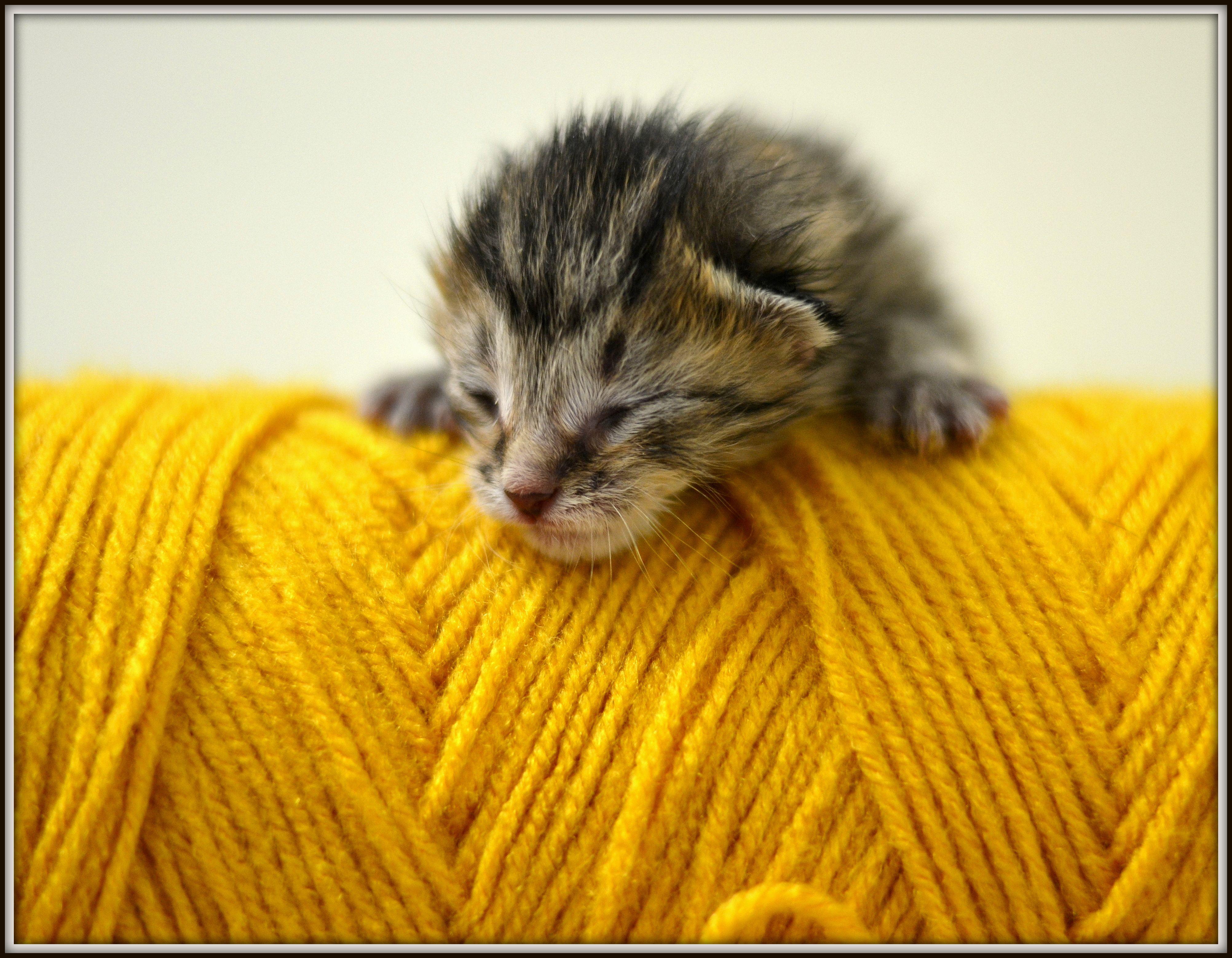 Newborn Kitten Newborn Kittens Cat Colors Newborn Animals
