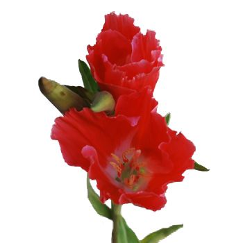 Coral Fresh Godetia Flowers Flowers Red Wedding Flowers All Flowers
