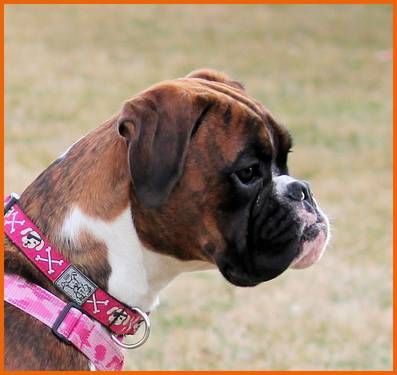 Quality Boxer Puppies for sale Boxer puppies, Boxer