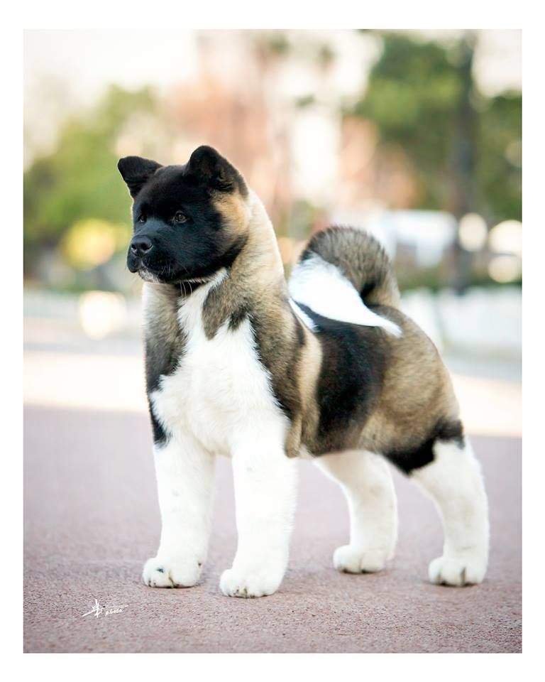 Simply Gorgeous Akita Puppies Dog Breeds Cute Animals