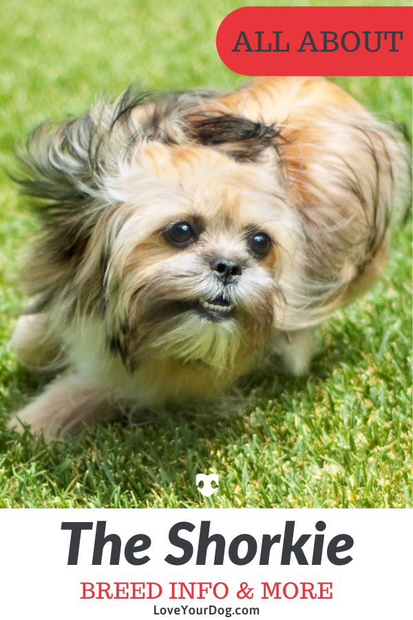 Shorkie Breed Information All About The Shih Tzu Yorkie Mix Yorkie Shih Tzu Mix Shih Tzu Yorkie Mix