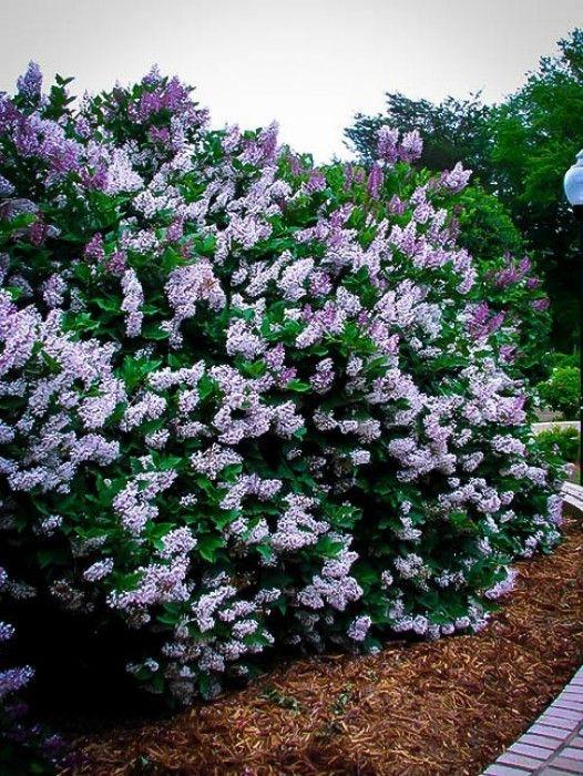 Bloomerang Purple Lilac Lilac Tree Lilac Bushes Small Gardens