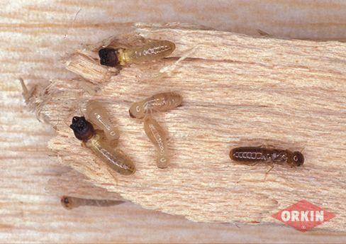 Drywood Termites Image Termite Control Termite Treatment Drywood Termites