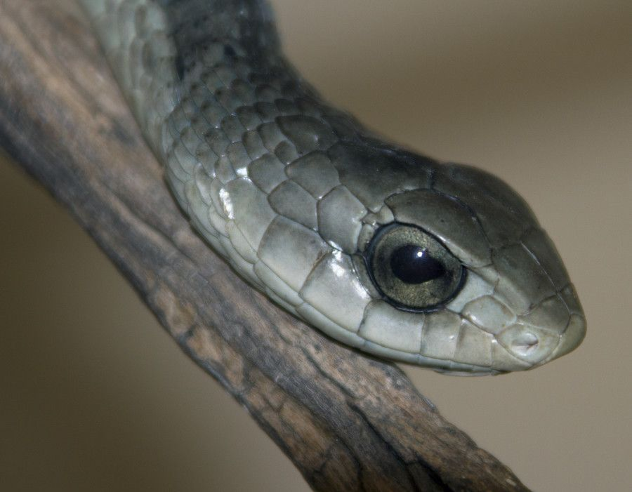 Boomslang by Mik Peach on 500px