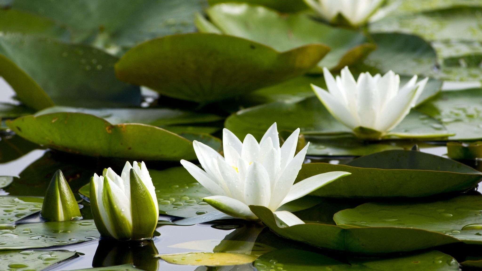 Nymphaea Odorata American White Water Lily Things I See