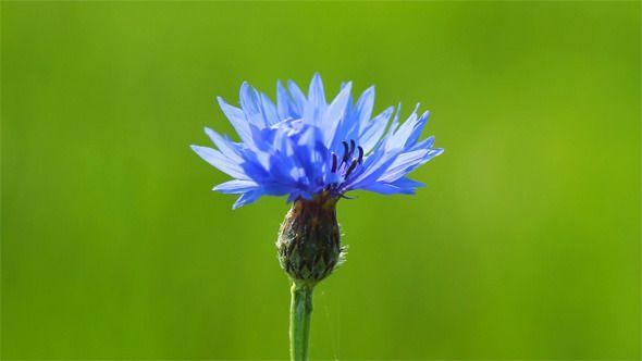 Blue Cornflower ...  blossom, blue, cornflower, floral, flower, grass, green, insect, nature, plant, spring, springtime, summer, wildflower