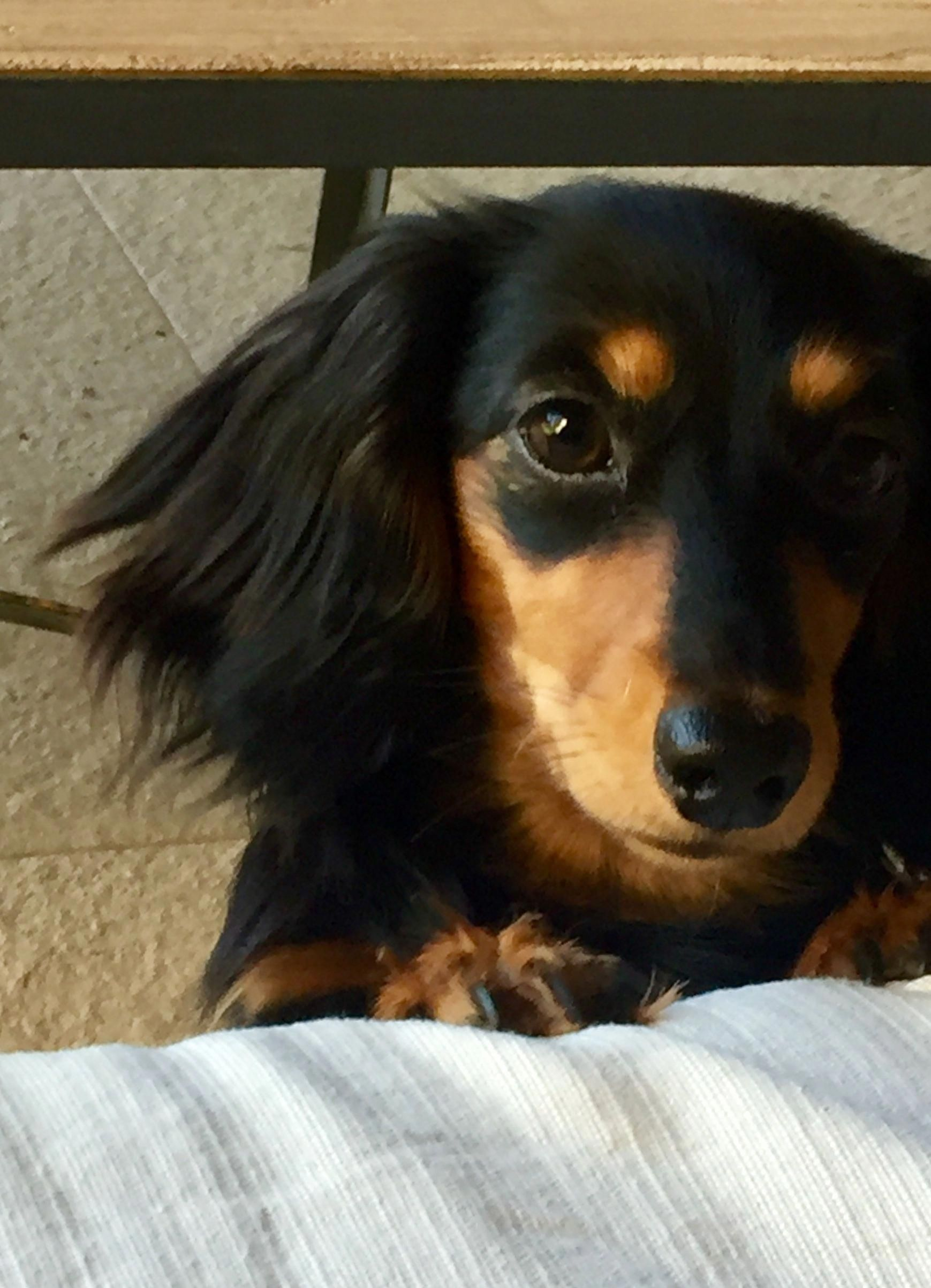 Pin By Susan Powney On Daschunds Baby Dachshund Dachshund Breed