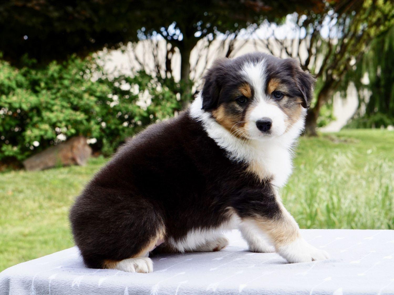 Australian shepherd puppies for sale sisters or